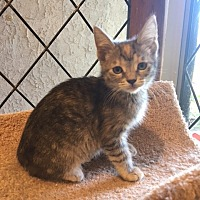 Adopt A Pet :: Diamond - Agoura Hills, CA