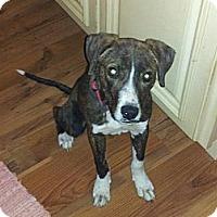 Adopt A Pet :: Randy - Essex Junction, VT