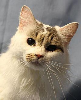 Turkish Van Cat for adoption in Winston-Salem, North Carolina - Rachel