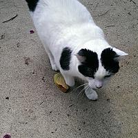 Domestic Shorthair Cat for adoption in Naples, Florida - Sheba