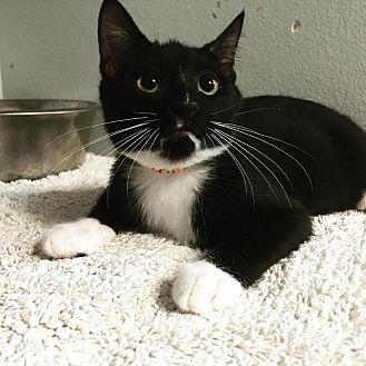 Domestic Shorthair Kitten for adoption in Westminster, California - Tomahawk