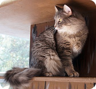 Domestic Longhair Cat for adoption in Maynardville, Tennessee - Buddy