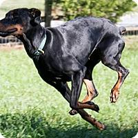 Adopt A Pet :: SAYLOR - Greensboro, NC