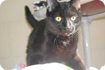 Domestic Shorthair Cat for adoption in South Haven, Michigan - Maxine