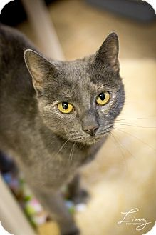 Domestic Shorthair Cat for adoption in Leander, Texas - CC Ryder
