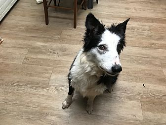 Border Collie Dog for adoption in Mount Ida, Arkansas - Creek