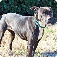 Adopt A Pet :: BLACK JADE - Franklin, TN
