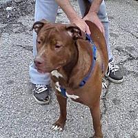 Adopt A Pet :: Lion - Allen town, PA
