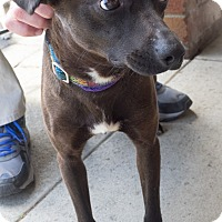 Adopt A Pet :: Juno - Loudonville, NY