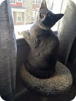 Domestic Shorthair Cat for adoption in Wilmore, Kentucky - Macie