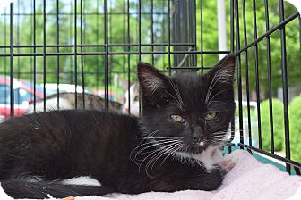Domestic Shorthair Kitten for adoption in Washington, Pennsylvania - Chloe
