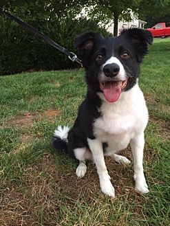 Border Collie Dog for adoption in Highland, Illinois - Xassy (Courtesy Listing from Eureka, MO)