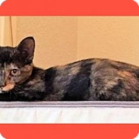 Domestic Mediumhair Kitten for adoption in Euless, Texas - Topaz - Courtesy Post