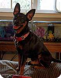 Miniature Pinscher Dog for adoption in Columbus, Ohio - Sir Winston