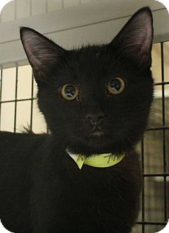 Domestic Shorthair Cat for adoption in Fort Madison, Iowa - Thunder