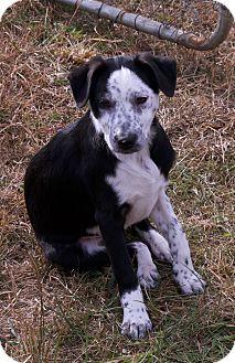 Border Collie/Australian Cattle Dog Mix Puppy for adoption in Staunton, Virginia - geraldine