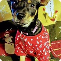 Shepherd (Unknown Type) Mix Puppy for adoption in Detroit, Michigan - Acorn-Pending!