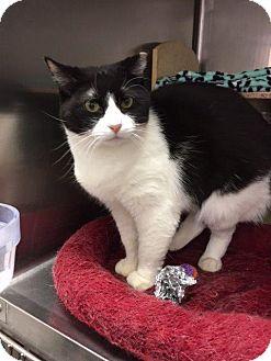 Domestic Shorthair Cat for adoption in Cincinnati, Ohio - Gem