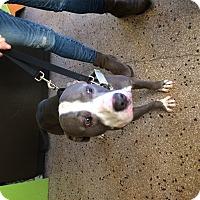Adopt A Pet :: Apollo - Dallas, TX