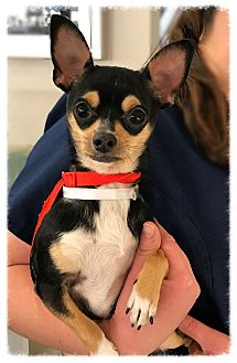 Chihuahua Dog for adoption in Los Alamitos, California - T-Rex