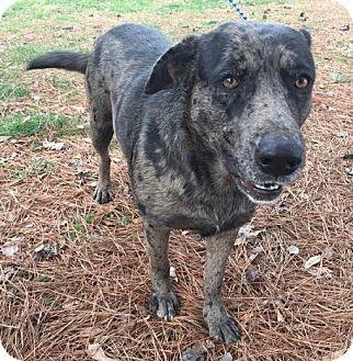 Catahoula Leopard Dog Dog for adoption in Attalla, Alabama - Cami