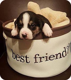 German Shepherd Dog/Corgi Mix Puppy for adoption in Monroe, North Carolina - Gracie