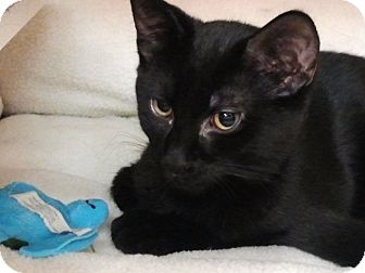 Domestic Shorthair Cat for adoption in Little Falls, New Jersey - Fred (KL)