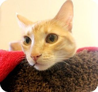 Domestic Shorthair Cat for adoption in Canoga Park, California - Lucy