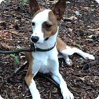 Adopt A Pet :: Phil - Brattleboro, VT