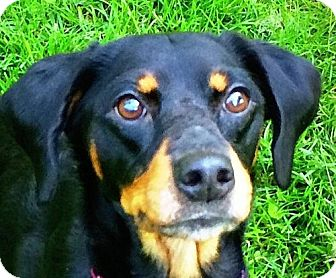Spaniel (Unknown Type)/Beagle Mix Dog for adoption in Indianapolis, Indiana - Shyla