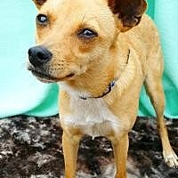 Chihuahua Mix Dog for adoption in Pipe Creek, Texas - Ray