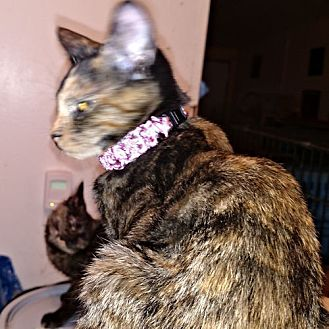 Domestic Shorthair Cat for adoption in Petersburg, Virginia - Andrea