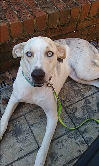 Australian Shepherd/German Shepherd Dog Mix Dog for adoption in Russellville, Kentucky - Salt