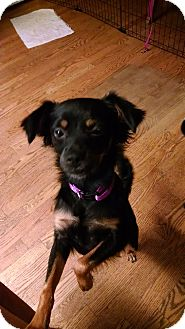 Chihuahua Mix Dog for adoption in Palestine, Texas - Betsy