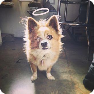 Pomeranian/Chihuahua Mix Dog for adoption in Los Angeles, California - Sheldon