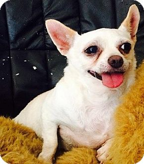 Chihuahua Mix Dog for adoption in Alhambra, California - Lily
