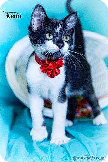 Domestic Shorthair Kitten for adoption in Leesburg, Florida - Keno