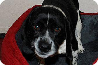 Beagle/Border Collie Mix Dog for adoption in Salem, West Virginia - Oreo