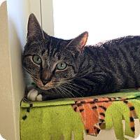 Domestic Shorthair Cat for adoption in Plainville, Connecticut - Comet