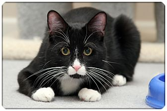 Domestic Shorthair Cat for adoption in Sterling Heights, Michigan - Rapper - ADOPTED!
