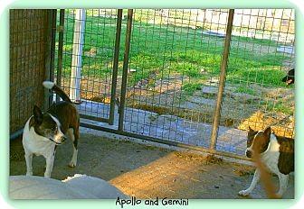 Boston Terrier/Akita Mix Dog for adoption in Eddy, Texas - Gemini