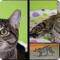 Adopt A Pet :: Akira - Brooksville, FL