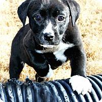 Adopt A Pet :: *Priscilla - PENDING - Westport, CT