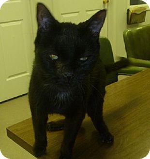 Domestic Shorthair Cat for adoption in Hamburg, New York - Booker