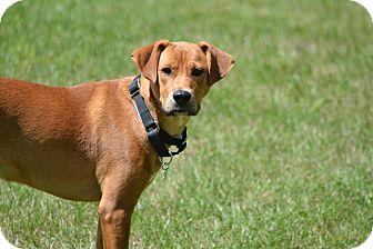 Carolina Dog/Boxer Mix Dog for adoption in Beachwood, Ohio - Maya
