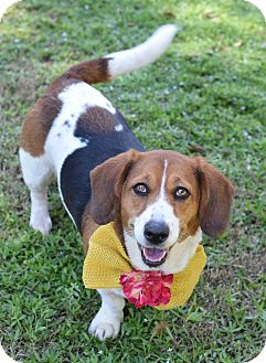 Basset Hound Mix Dog for adoption in Denver, Colorado - Sue