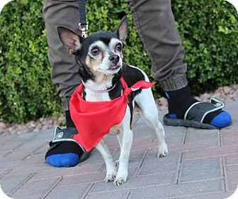 Chihuahua/Rat Terrier Mix Dog for adoption in Las Vegas, Nevada - WILHELMINA (CAT FRIENDLY)