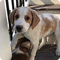 Adopt A Pet :: Beautiful Bruno - Chantilly, VA