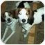 Photo 2 - Foxhound Dog for adoption in Waldorf, Maryland - Sawyer