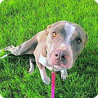 Adopt A Pet :: Bella - Cypress, CA
